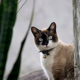 With Bells On  by Samy St Clair - Animals - Cats Portraits ( plant, cat, green, chicken wire, outdoors, blue eyes, house, siamese cat, wooden post, kitty, portrait )