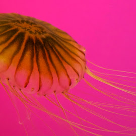 Jelly by Dale Kemp - Animals Sea Creatures ( aquarium, sea, pink, close up, jellyfish, the mood factory, mood, lighting, sassy, colored, colorful, scenic, artificial, lights, scents, senses, hot pink, confident, fun, mood factory ,  )