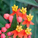 Tropical milkweed (ασκληπιάς)