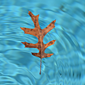 Adrift by Freddie Meagher - Nature Up Close Leaves & Grasses ( water, freddie meagher, fall leaves on ground, fall leaves, life, tree, nature, blue, oak, floating, brown, leaf, dof, nikon )