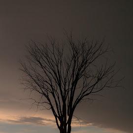 dead tree by Paula Weston - Nature Up Close Trees & Bushes ( tree )
