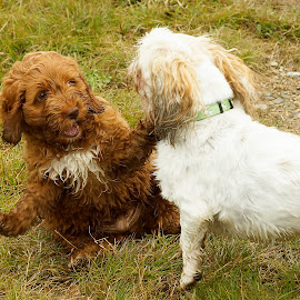 would you look at this by Helen Bagley - Animals - Dogs Playing ( cockapoo, dogs, dogs playing, puppy, shih tzu, dog )