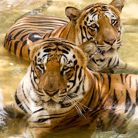by Amit Aggarwal - Animals Lions, Tigers & Big Cats ( bangalore, pair, eye contact, indian, pool time, karnataka, bathing, national park, bannerghatta, relaxed, couple, india, tigers )