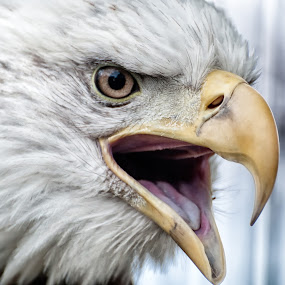 Angry Eagle by Martin Belan - Animals Birds ( eagle, nature, bald eagle, birds, raptors,  )