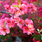 roze2.jpg