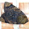 Ramie Moth