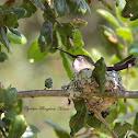 Anna's Hummingbird (Nesting)
