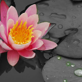 by Steve Cooper - Flowers Single Flower ( water drops, petals, shadowing, pink, lily pads )