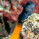 Two color combtooth Blenny