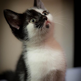 Ziggy by John Walton - Animals - Cats Portraits ( kitten, sweet, heritagefocus.photography )