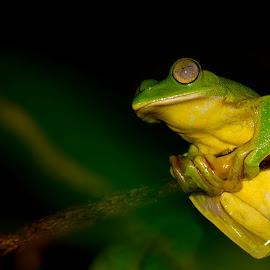 Malbar Gliding Frog by Pradyuman Samant - Animals Amphibians ( malabar gliding, tree, frog, amphibian, eyes,  )