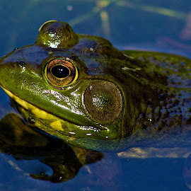 Frog by Dan Ferrin - Animals Amphibians ( nature, frog, amphibian, wildlife, frog pond )