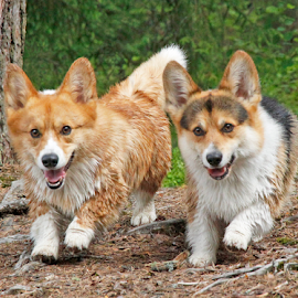 Corgi fun by Mia Ikonen - Animals - Dogs Running ( happy, pembroke welsh corgi, finland, fun, cute )