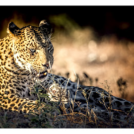 by Denis Smit - Animals Lions, Tigers & Big Cats