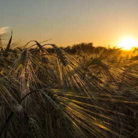 Barley Field by Tudor Migia - Landscapes Prairies, Meadows & Fields ( field, barley, sunset, crop, sun )