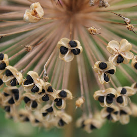 AfterLife by Nikki Wilson - Nature Up Close Gardens & Produce ( macro, nature, pods, seeds, flower,  )