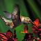 Hummingbird gotham.JPG