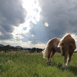 Sun Dance by Michele Thorsteinson - Animals Horses ( littleton, stalion, irish cob, colorado, high quality, in focus )