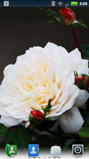 輻射玫瑰生活壁紙