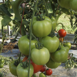 tomatoes by Matthew Lynam - Food & Drink Fruits & Vegetables ( hot house, chilliwack, green & red, vine, tomatoes )