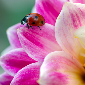 Ladybird (ladybug) on a dahlia by Peter Greenhalgh - Animals Insects & Spiders ( coccinellidae, ladybird, ladybug, dahlia )