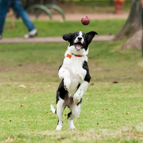 Playing catch by Keith Reling - Animals - Dogs Playing ( ball, dog jumping )