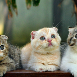 by Cacang Effendi - Animals - Cats Kittens ( cats, cattery, kitten.chandra, animal )