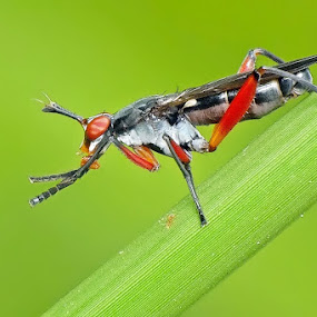 Marsh Fly by Helnis Susanto Johannis - Animals Insects & Spiders