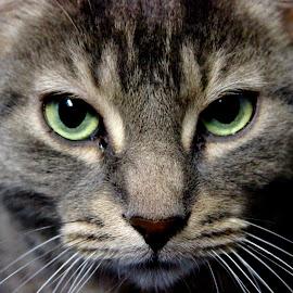 Meow! by Daniel Gaudin - Animals - Cats Portraits ( animals, cat, nature, portraits,  )