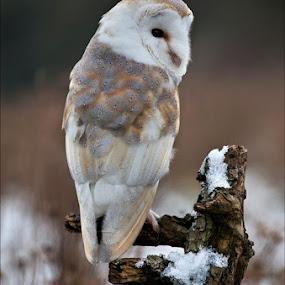 Barn Owl at Barn Owl Centre in February. by Marlene Finlayson - Animals Birds