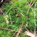 Common haircap moss