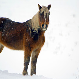 Majestic Winter by Lynn Hancock Young - Animals Horses ( animals, winter, nature, snow, horse, country )