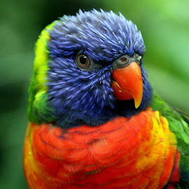 Lorikeet by Ralph Harvey - Animals Birds ( bird, wildlife, ralph harvey, bristol zoo, lorikeet )
