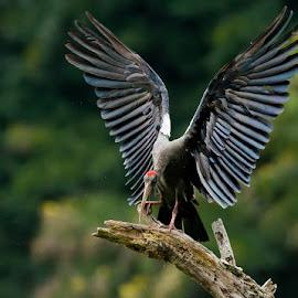 Angelic Wings by Gurdyal Singh - Animals Birds ( bird, red-naped ibis, flying, ibis, fly, wings, gurdyal singh, perch )
