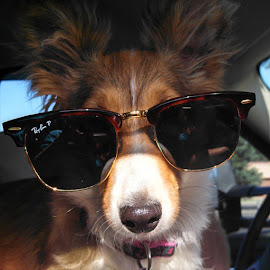 Sadie by Erica Brown - Animals - Dogs Portraits ( studious, instagram, pet, shetland sheepdog, puppy, best friend, dog, sheltie, sunglasses, sable )