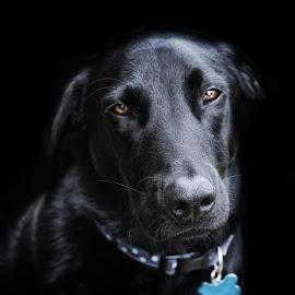 Doggy Portrait by Kelly Murdoch - Animals - Dogs Portraits ( england, uk, dog, lab, black, englad, animal, ztam )