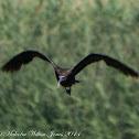 Glossy Ibis; Morito