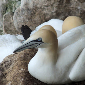 gannets by John Witty - Nature Up Close Rock & Stone