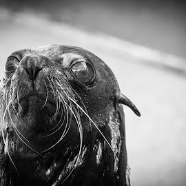 Seal of approval by Matt Simner - Animals Amphibians ( seal, australia, portrait, aloof, fur seal )