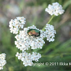 Green rose chafer / -
