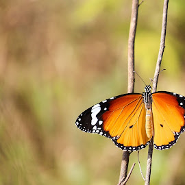 Common Tiger butterfly (Danaus genutia) by Dixit Kalia - Animals Other ( butterfly, tiger, common, danaus genutia, india )