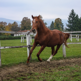 English thoroughbred horse. by Remus Mircea - Animals Horses