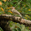 Northern Flicker Yellow-shafted Adult Male