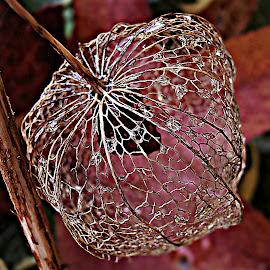 The Sumptuous Beauty Of Maturity by Marija Jilek - Nature Up Close Other plants ( water, maturity, nature, lace lantern, colors, drops, plants, sumptuous beauty, physalis alkekengi )