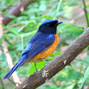 Rufous-bellied Niltava (Male)