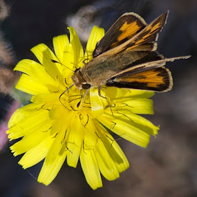 Hello Skipper by Ed Hanson - Animals Insects & Spiders ( weed, skipper, yellow, insect, bokeh, close-up )