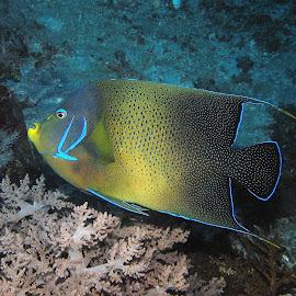 Angelic by Phil Bear - Animals Fish ( bali, coral, fish )