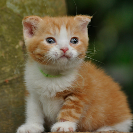 by Cacang Effendi - Animals - Cats Kittens ( cattery, kitten, cat, animals, chandra )