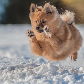 by Michael  M Sweeney - Animals - Dogs Puppies ( expression, detail, photooftheday, dog running, puppies, d3, nikondog, snow, parks, perspective, wonderful, champion, showy, electric, mood, charging, lens, sale, emotion, jump, f4.5, charming, winter, dogphotographer, explosion, low, fast, tiny, natural light, scotland, nikon d3, joy, michael m sweeney, imagination, cute, run, nikond, running, animal in motion, photography, character, michaelmsweeneyphotography, real, adventure, epic, happy, animals in motion, fur, nikon, photo, wonderfull, print, pomeranian )