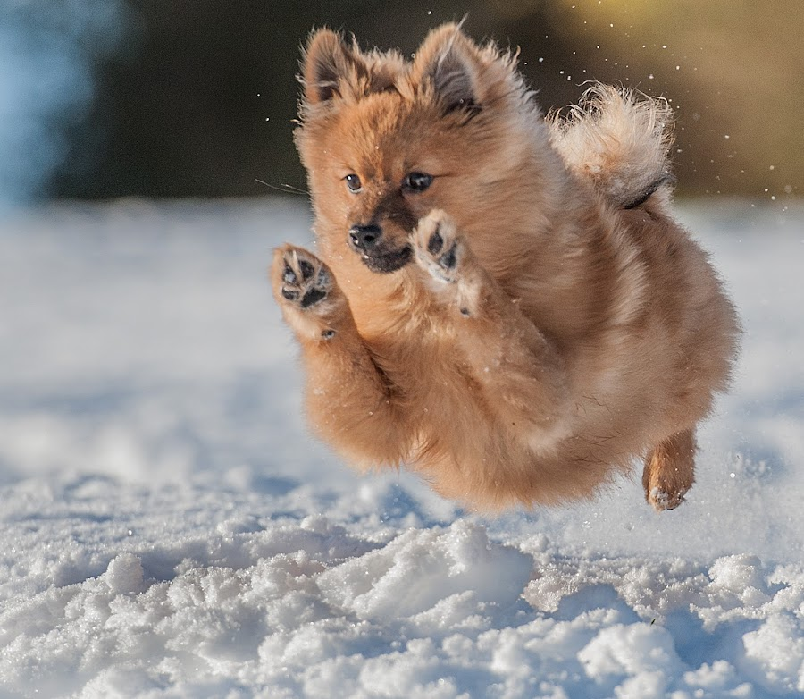 by Michael  M Sweeney - Animals - Dogs Puppies ( expression, detail, photooftheday, dog running, puppies, d3, nikondog, snow, parks, perspective, wonderful, champion, showy, electric, mood, charging, lens, sale, emotion, jump, f4.5, charming, winter, dogphotographer, explosion, low, fast, tiny, natural light, scotland, nikon d3, joy, michael m sweeney, imagination, cute, run, nikond, running, animal in motion, photography, character, michaelmsweeneyphotography, real, adventure, epic, happy, animals in motion, fur, nikon, photo, wonderfull, print, pomeranian,  )